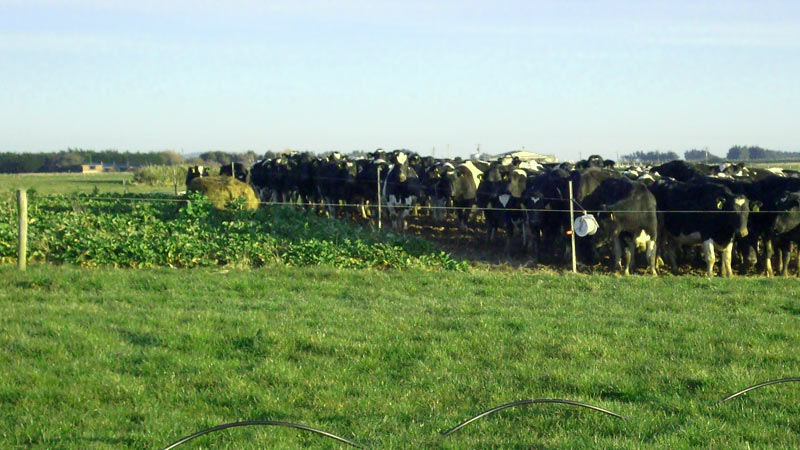 Cows grazing swedes