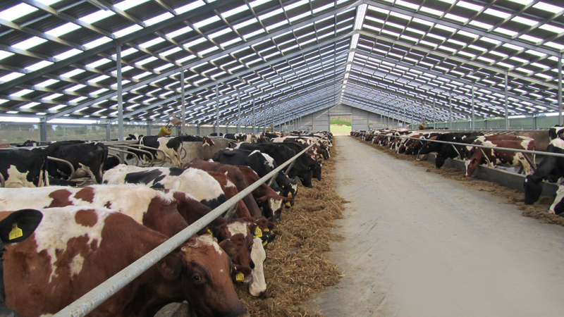 Cows in shed