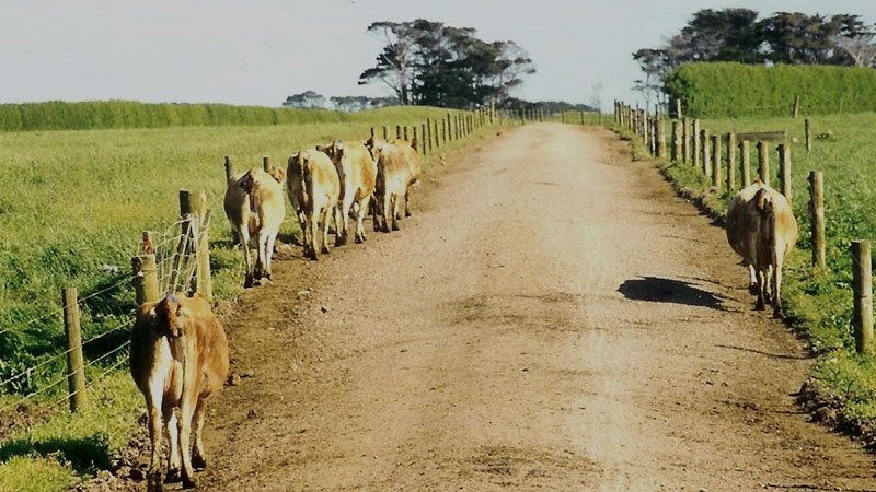 Cows walking on side of track because camber is too steep.
