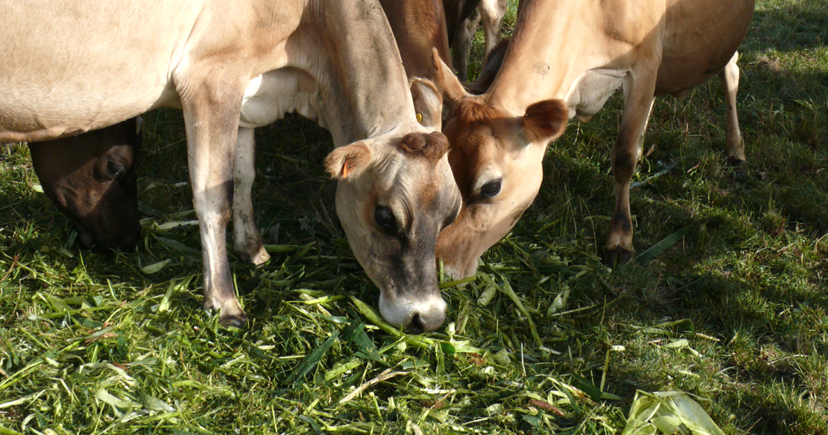 Cows eating greenfeed maize