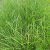 High Sugar Grass