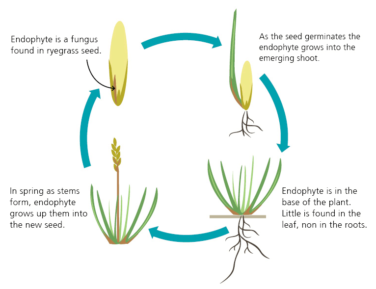 Pasture Renewal Endophyte