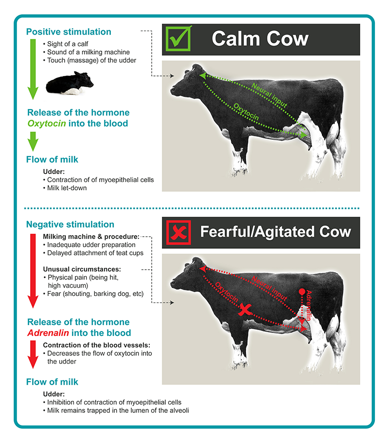 Cow fear diagram.