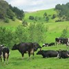 Northland cows