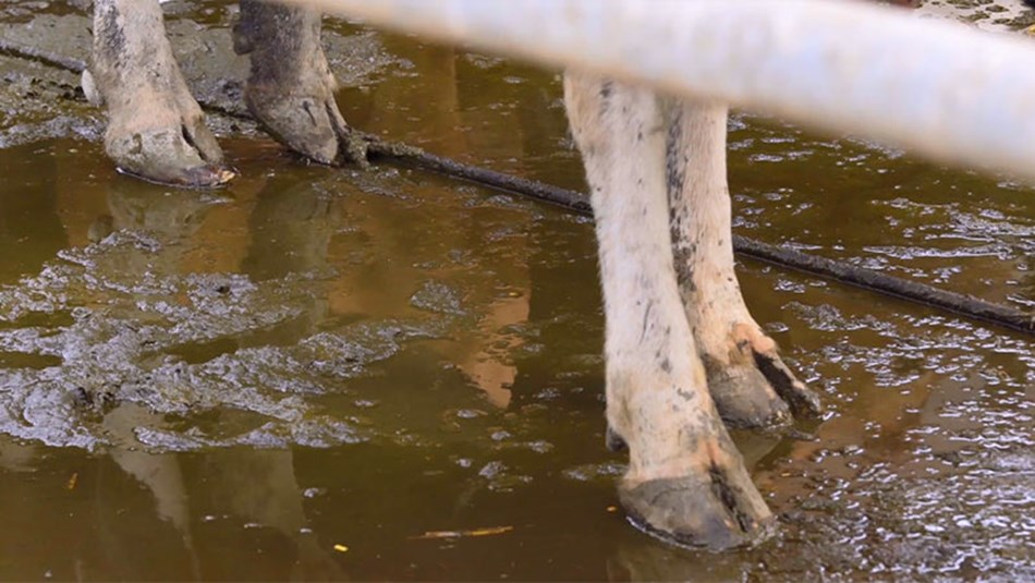 Lameness housed cow risks