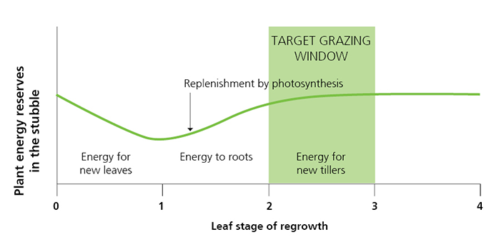 Leaf stage