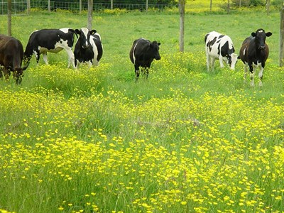 Dairy pasture population of giant buttercup