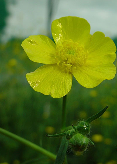 Flower and flower buds of giant buttercup