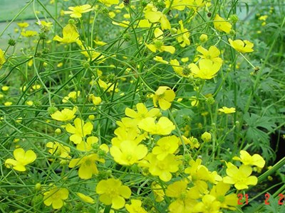Flowering and seeding giant buttercup plant