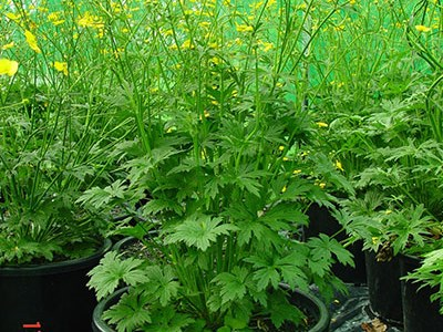 Flowering giant buttercup plant