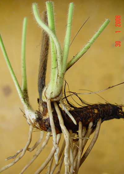 Rhizome of giant buttercup