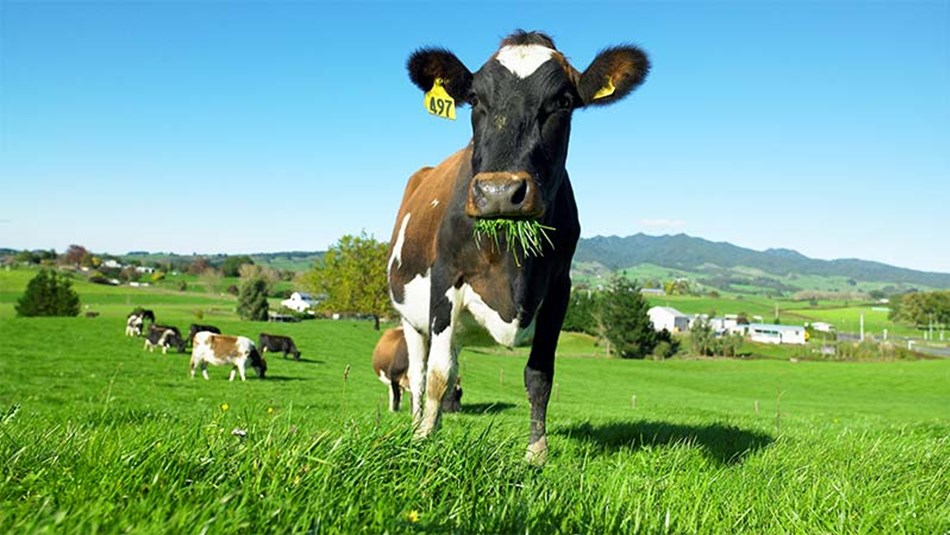 best buffers for dairy cows