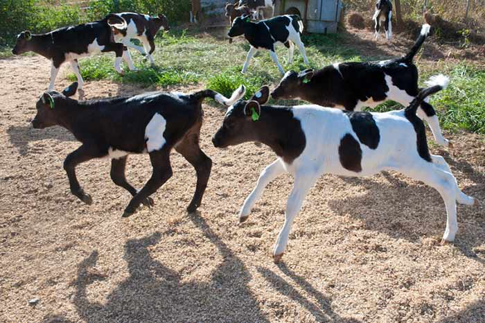 Calves often lift their tails when they play or run.