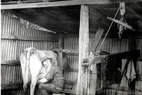 Old black and white image of cow being milked by hand in a very old shed.